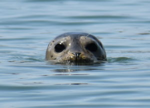 Seal 2-cr-eyes