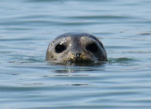 Seal 2-cr-eyes